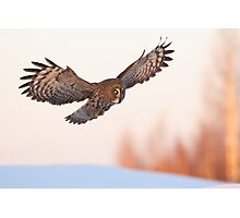 Great Grey Owl in flight Photographic Print