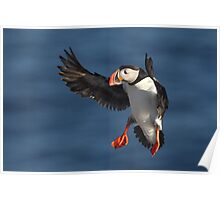 Puffin in flight Poster