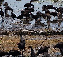Saltwater crocodile (Crocodylus porosus) and Purple swamp hen (Porphyrio porphyrio melanotus), Kakadu National Park by DDVirkki