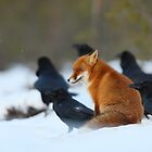 Circle of the Year in Red Fox life by Remo Savisaar