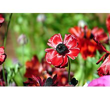 Ranunculus Photographic Print