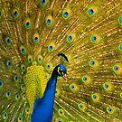 Peacock by GlennRoger