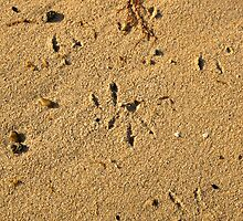 Oystercatcher tracks by Guyzimijz