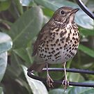 Patience.....British Song Thrush  by Rivendell7