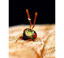 A Cuckoo wasp emerging Photographic Print