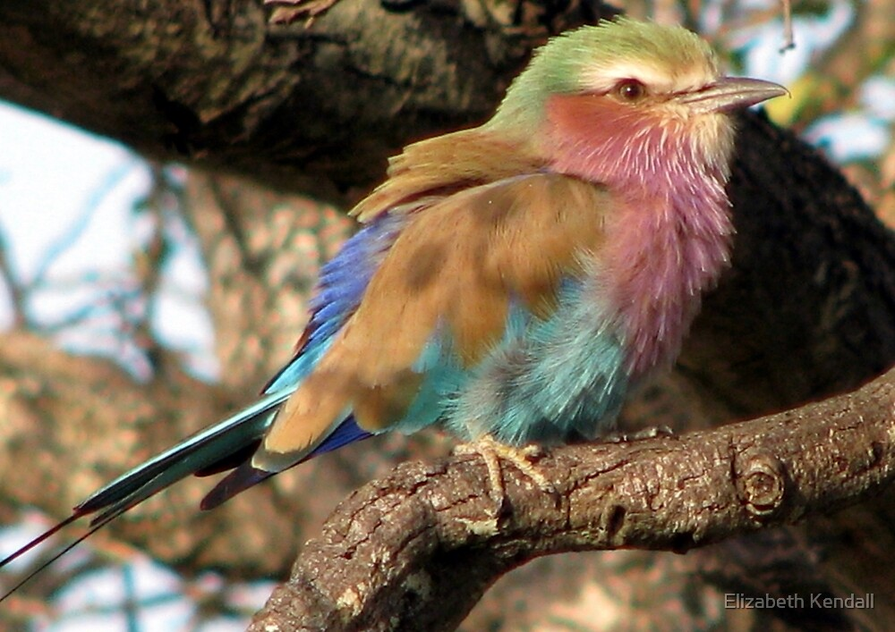 Lilacbreasted Roller (Troupant) by Elizabeth Kendall