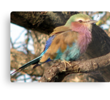Lilacbreasted Roller (Troupant) Metal Print