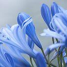 Lady Blue; flowers by Kornrawiee