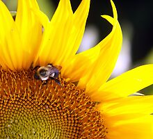Bee On Sunflower by Patricia Betts
