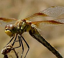 Eastern Amberwing Dragonfly by Jessica Courtley~Rose