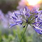 Agapanthus by Antionette