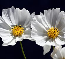 Twin White Cosmos by Robin Fortin IPA