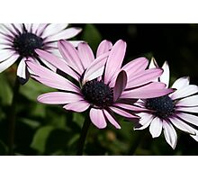 Pinkish White Daisies I Photographic Print