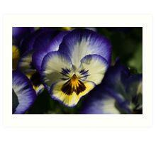 Pansy Bleu Art Print