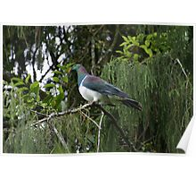 Kereru. New Zealand wood pigeon Poster