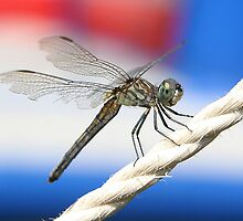 Patriotic Dragon Fly by Vincent Vartorella