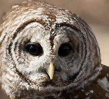 Beautiful Barred Owl by Vincent Vartorella