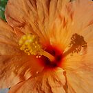 Orange Hibiscus by jsmusic