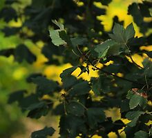 Leaves At Peglio by Francis Drake