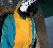 Blue Macaw by Shona