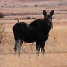 Ms Flatlander Moose by Ken McElroy