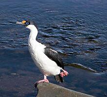 ......do the Hokey Pokey......  ~  Antarctic Cormorant by Robert Elliott