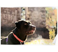 Belle - Chocolate Lab Poster