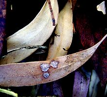 Eucalyptus Leaves by Kitsmumma