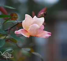 pink rose by MorganAshley