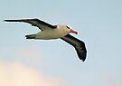 Albatross Flight by Steve Bulford