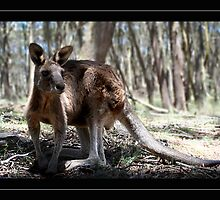 """Scotty"" Eastern Grey Kangaroo by Bandicoot"