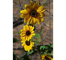 Sun Flower Patch Photographic Print