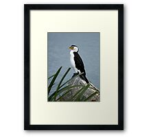 Little Pied Cormorant Framed Print
