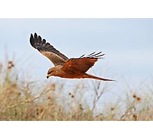Black Kite ~ Searching  Photographic Print