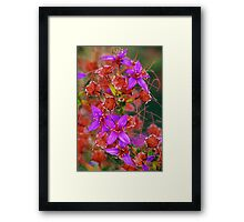 Purple Calytrix, Stirling Ranges Framed Print