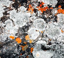 Orange and Grey Lichen #1 by Syman  Kaye