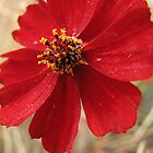 Bold Red Wildflower by pinklilypress