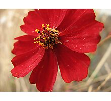 Bold Red Wildflower Photographic Print