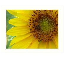 Sunflower bug Art Print