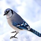 Blue jay by crspix