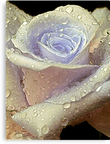 A ROSE IS A ROSE by Madeline M  Allen