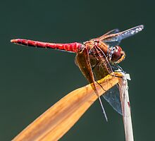 Dragonfly. by Steve Mills