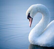 Swan by doorfrontphotos