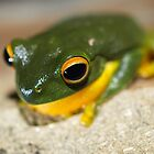 orange-thighed treefrog by col hellmuth