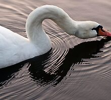 Swan sipping by David Chesluk