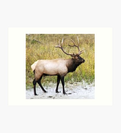 Elk in Rutting Season Art Print