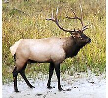 Elk in Rutting Season Photographic Print