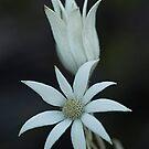 Sydney Flannel Flower (Actinotus helianthi) by Ben Shaw