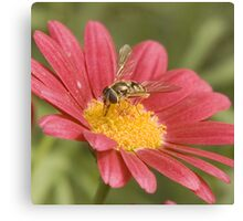 Fly on red daisy Canvas Print