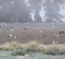 Emu Parade 5.15 am Cold  Foggy Morning in the Warrumbungles by Virginia McGowan